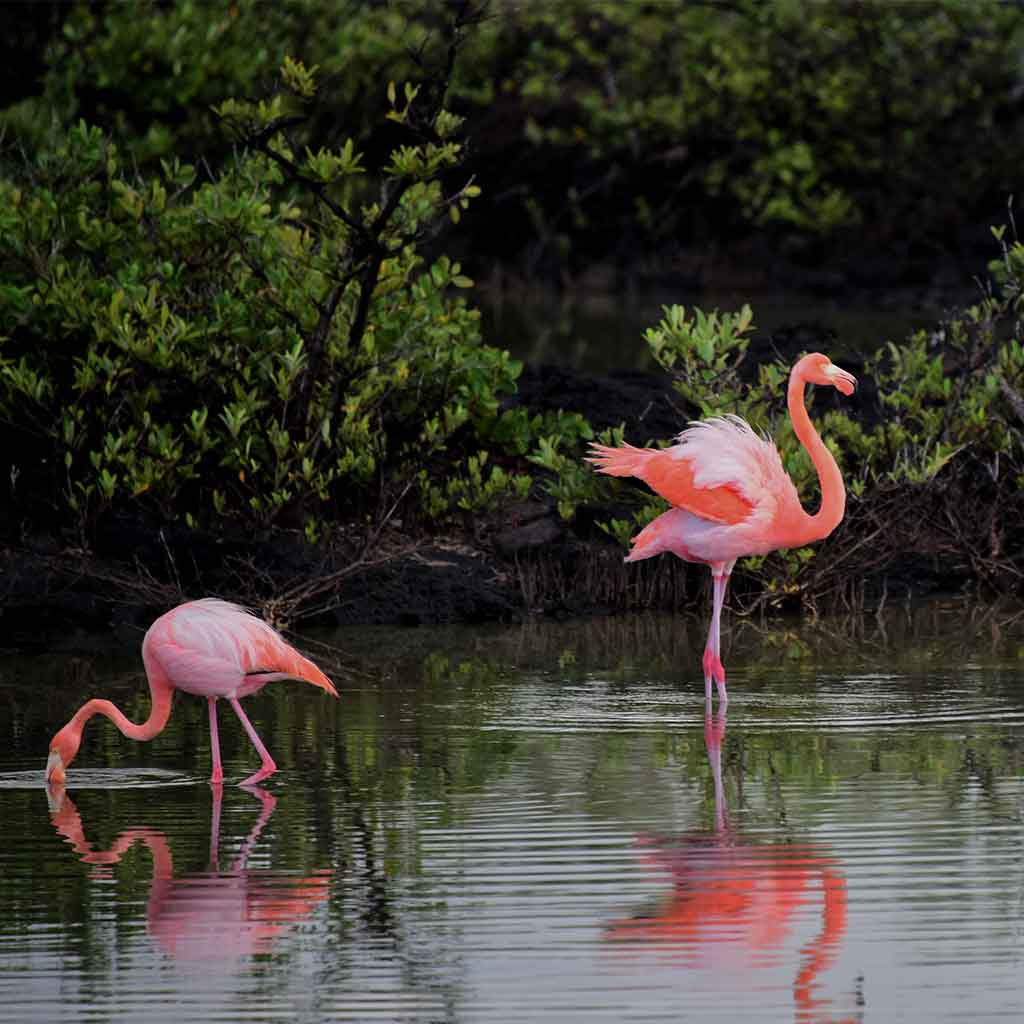 Where Do Flamingos Live Where To See Them In The Wild Flaminglet